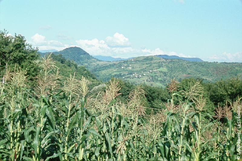 Кукуруза в Сочи