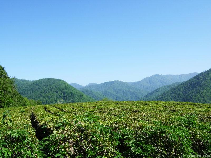 Чайные плантации Солох-Аула