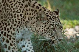Переднеазиатский леопард
