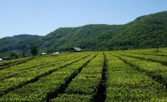 Чай в Сочи