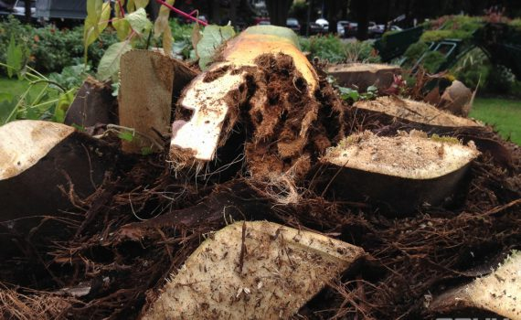 Пальма, погибшая от долгоносика